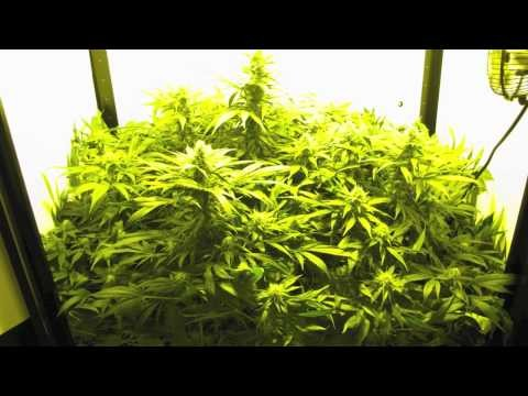 How do I get started Cannabis in Hydroponics?
