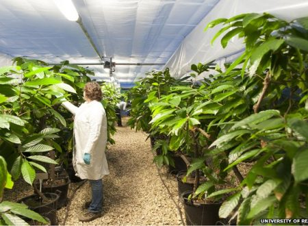 UK: Greenhouses to safeguard the future of chocolate