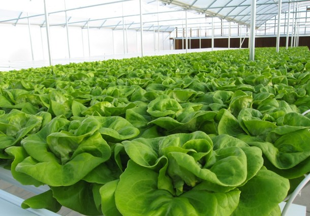 Hydroponic commercial production unit