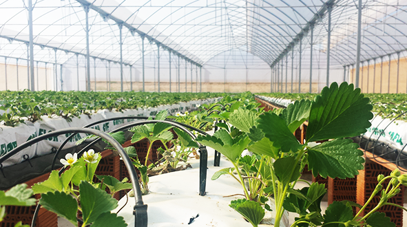 Producing high quality strawberries hydroponic cultivation