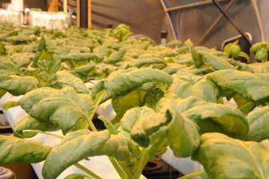 How Does it Grow? Hydroponic Spinach